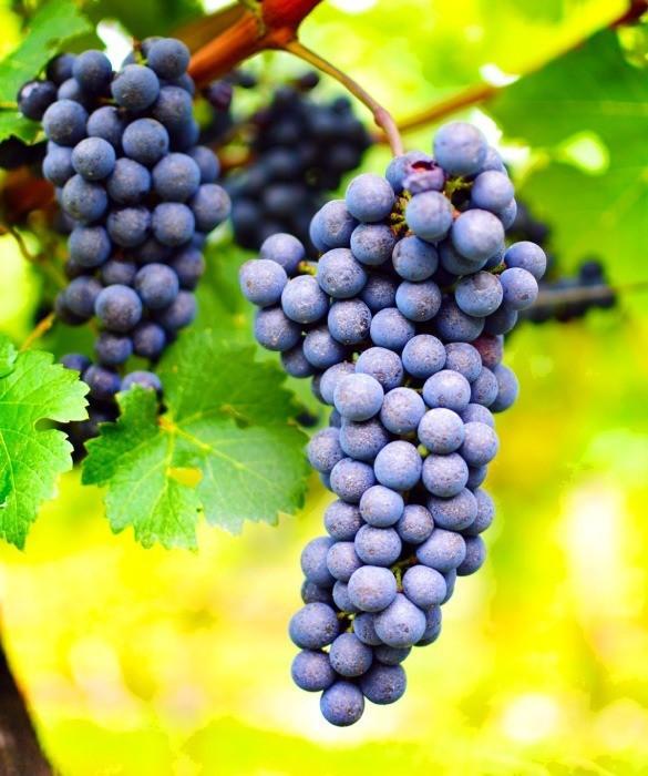 Лучшие сорта винограда для красного вина