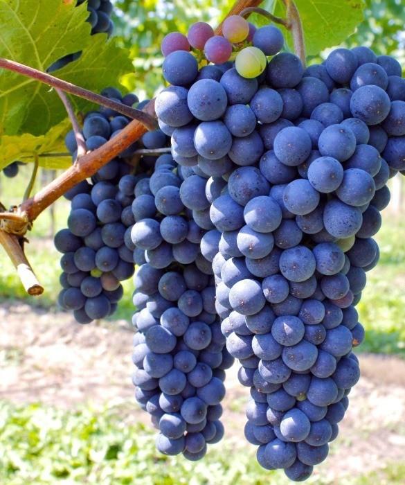 Виноград Красностоп для вина серии «Южное Настроение»