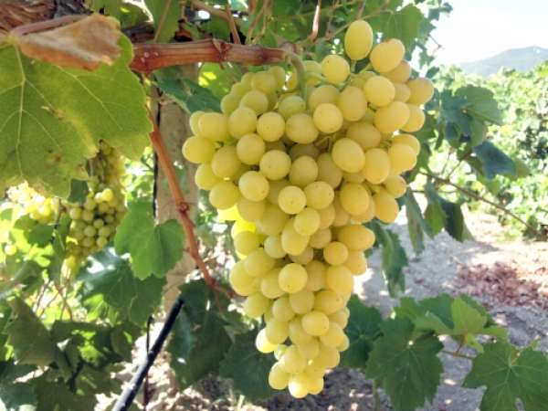 Крымский Винный завод сбор винограда 2016