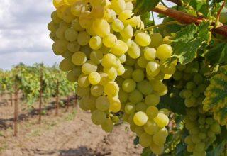 виноградники Кубань Крымск