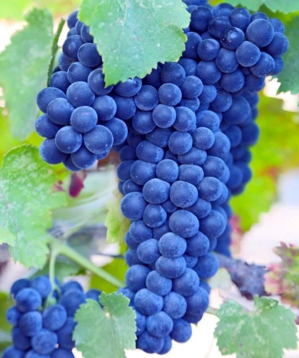 Благородные сорта винограда для красных эксклюзивных вин