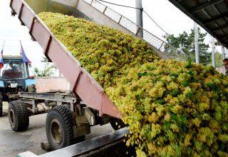 Первая лодочка винограда