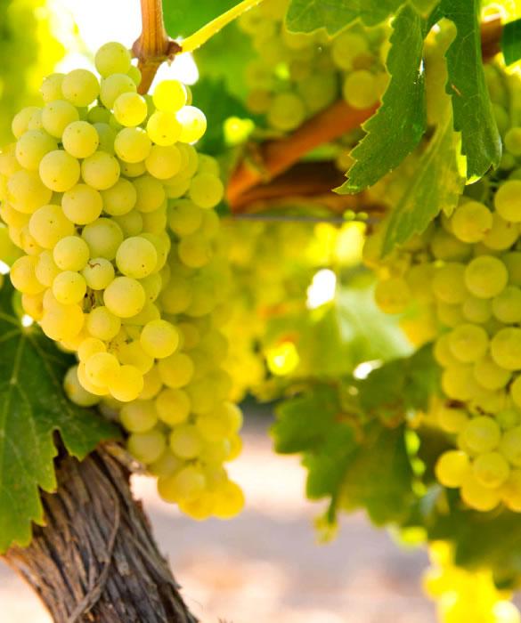 Шампанское из благородных сортов винограда