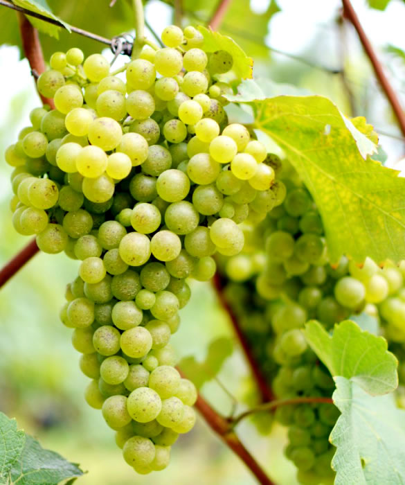 Полусухое шампанское из винограда сортов Шардоне, Совиньон Блан, Пино Блан