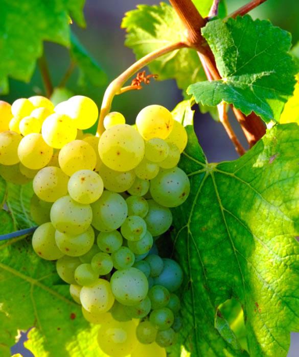 Полусладкое шампанское из белого винограда сортов Шардоне, Совиньон Блан, Пино Блан