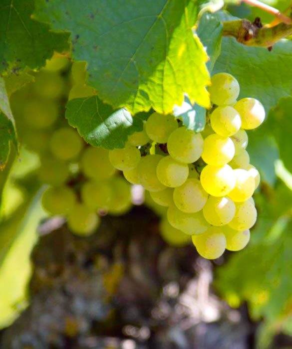 Шампанское из белого винограда Шардоне, Пино Блан
